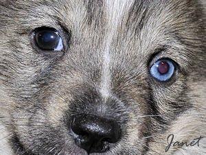 Pup blauw oogje
