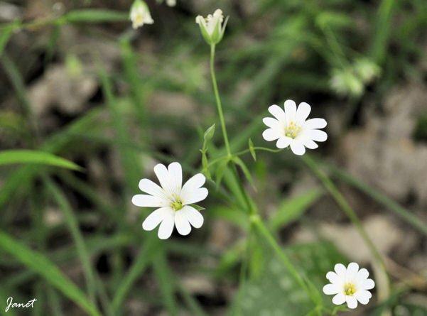 Fleur Lunery A