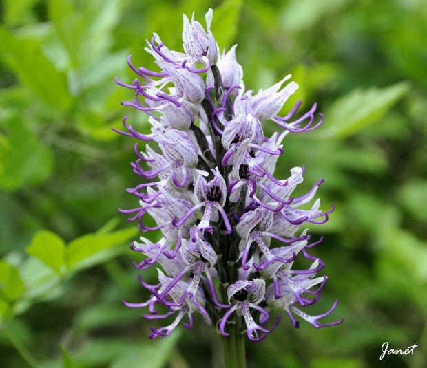 Wilde Orchidee Lunery B